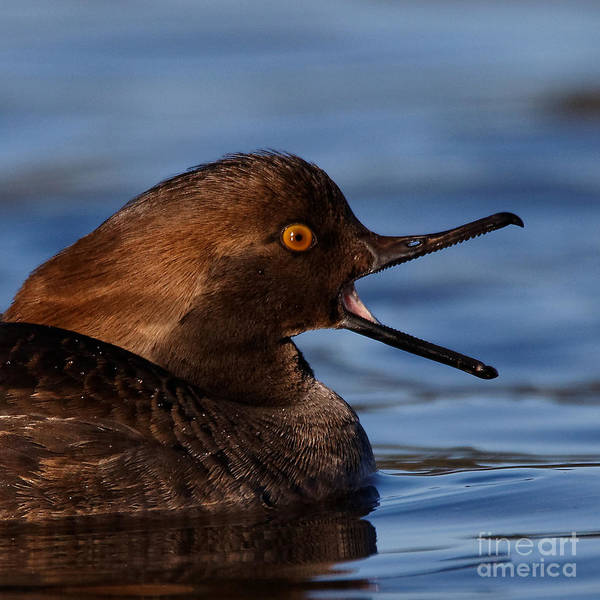 Photograph - Female Hooded Merganser Mouth Wide Open by Sue Harper