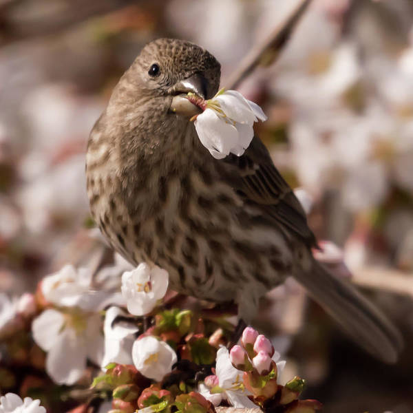 Photograph - Female House Finch With White Flower Square by Terry DeLuco