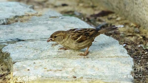 Photograph - Female House Sparrow Eating by Pablo Avanzini