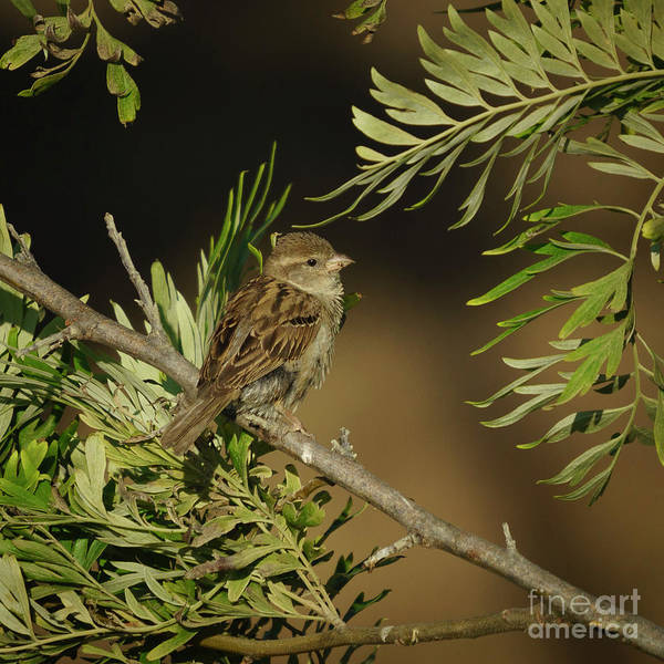 Photograph - Female House Sparrow Perched Back Side by Pablo Avanzini