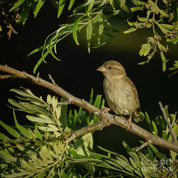 Photograph - Female House Sparrow Perched Front Side by Pablo Avanzini