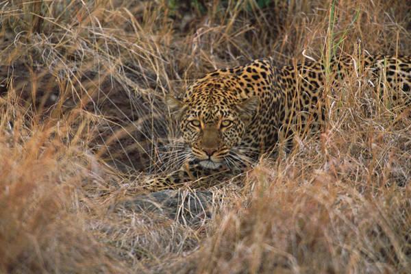 Wall Art - Photograph - Female Leopard Panthera Pardus Stalking by Eastcott Momatiuk