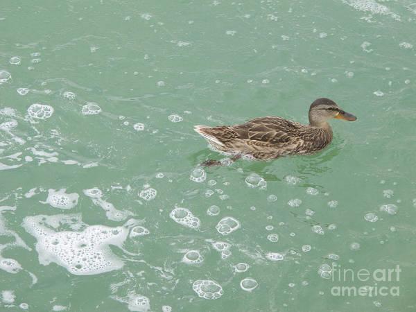 Wall Art - Photograph - Female Mallard Duck by Ann Horn
