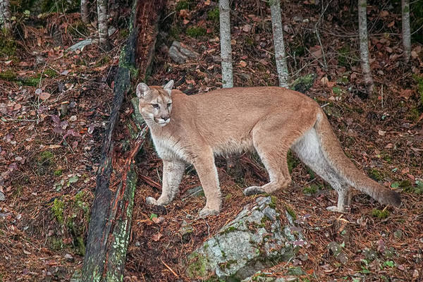 Photograph - Female Mountain Lion 1816 by Teresa Wilson