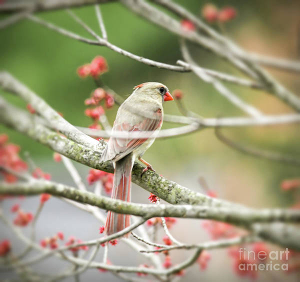 Photograph - Female Northern Cardinal In The Maple Tree by Kerri Farley