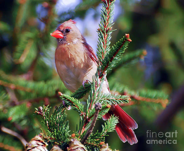 Photograph - Female Northern Cardinal - Posing In The Pines by Kerri Farley