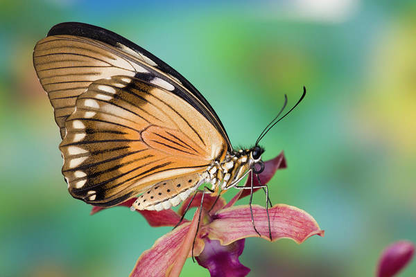 Butterfly Photograph - Female Papilio Dardanus Butterfly On by Darrell Gulin