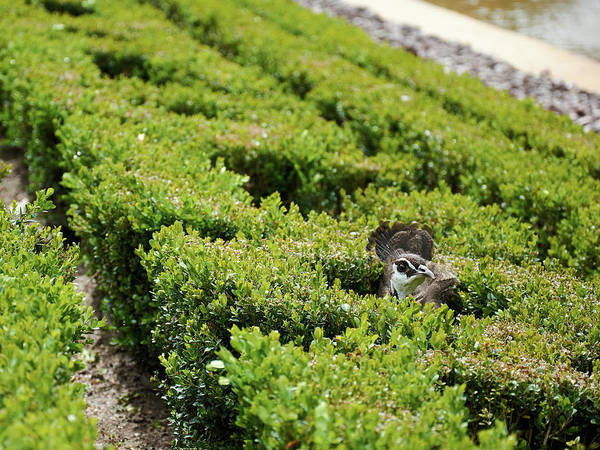 Photograph - Female Peafowl Among The Bushes In Retiro Park, Madrid, Spain by Fine Art Photography Prints By Eduardo Accorinti
