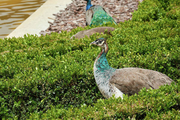 Photograph - Female Peafowl At The Gardens Of Cecilio Rodriguez In Madrid, Spain by Fine Art Photography Prints By Eduardo Accorinti