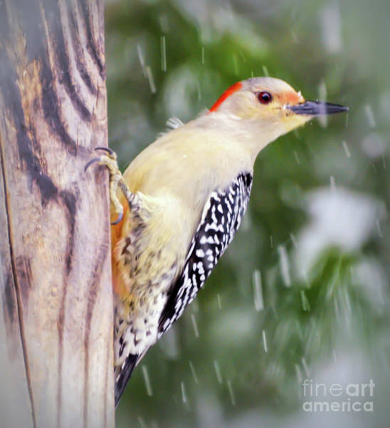 Photograph - Female Red-bellied Woodpecker In The Snow by Kerri Farley