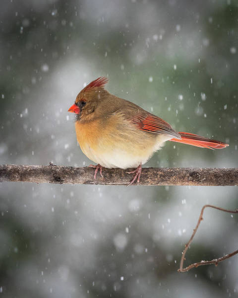 Photograph - Female Red Cardinal Snowstorm by Mike Koenig