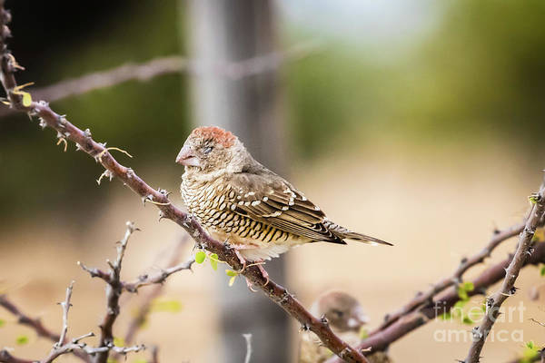 Photograph - Female Red-headed Finch, Namibia by Lyl Dil Creations