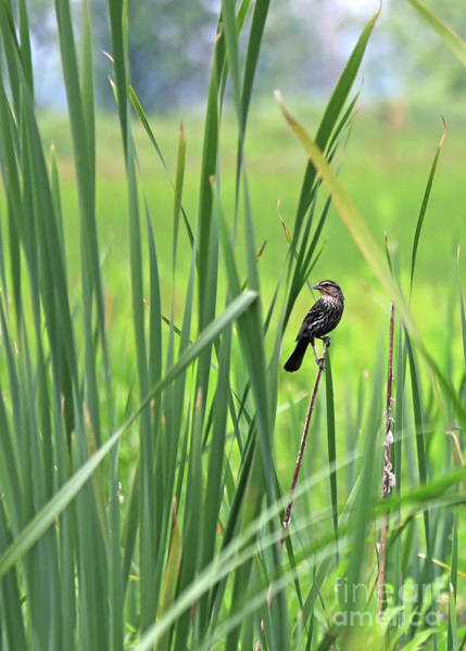 Photograph - Female Red Wing Black Bird by Paula Guttilla
