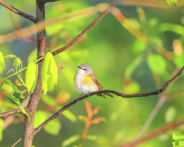 Photograph - Female Redstart In Spring by Dan Sproul