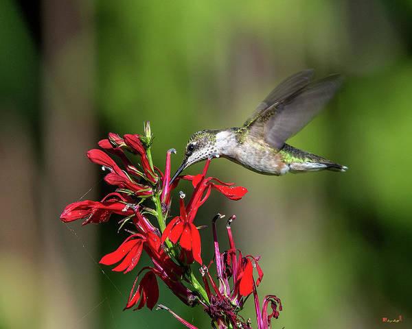 Photograph - Female Ruby-throated Hummingbird Dsb0319 by Gerry Gantt