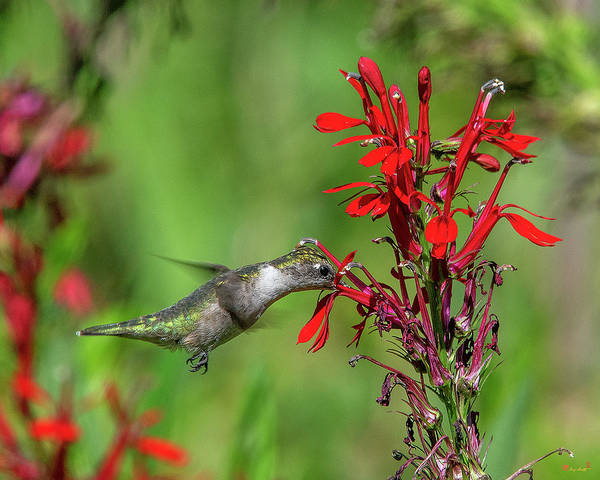 Photograph - Female Ruby-throated Hummingbird Dsb0324 by Gerry Gantt