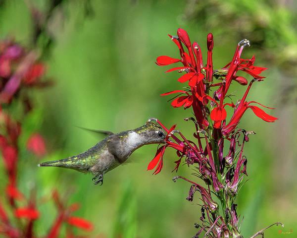 Photograph - Female Ruby-throated Hummingbird Dsb0324 by Gerry Gantt
