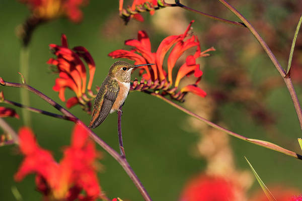 Photograph - Female Rufous Hummingbird At Rest by Robert Potts