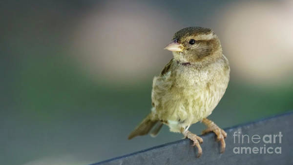 Photograph - Female Spanish Sparrow Cadiz Spain by Pablo Avanzini