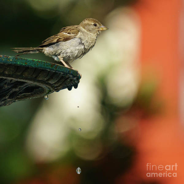 Photograph - Female Spanish Sparrow Perched On Iron Fountain by Pablo Avanzini