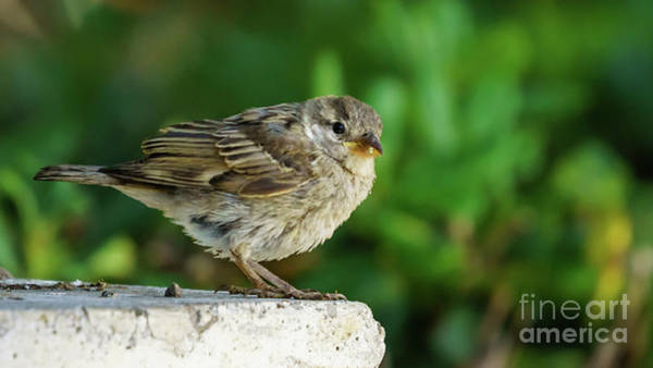 Photograph - Female Spanish Sparrow Perched On Marble Column by Pablo Avanzini