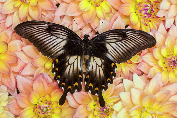 Wall Art - Photograph - Female Sulawesi Blue Mormon Swallowtail by Darrell Gulin