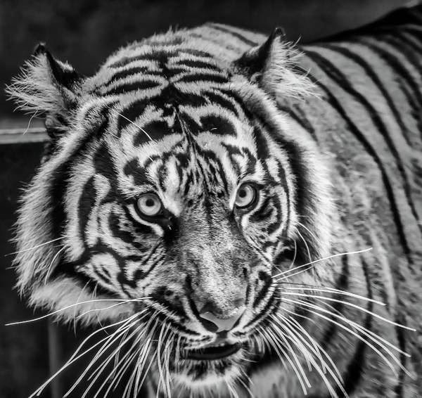 Lurking Photograph - Female Sumatran Tiger In Black And White by Garry Gay