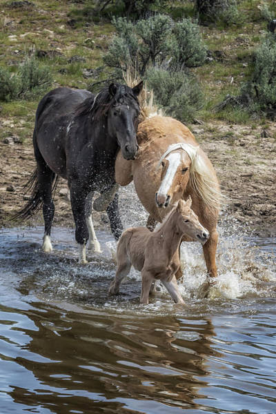 Photograph - Fending Off Another Mustang To Protect Her Foal by Belinda Greb