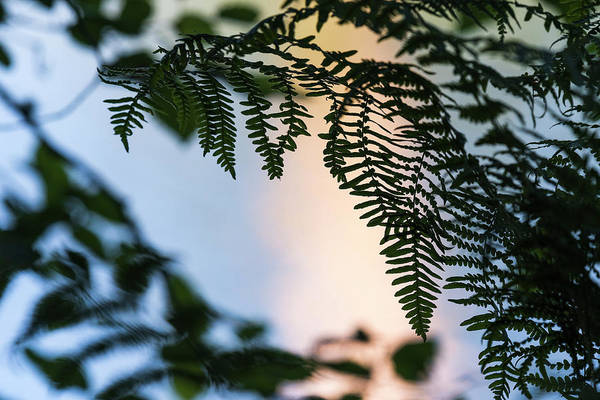 Photograph - Fern Frond Silhouette by Robert Potts
