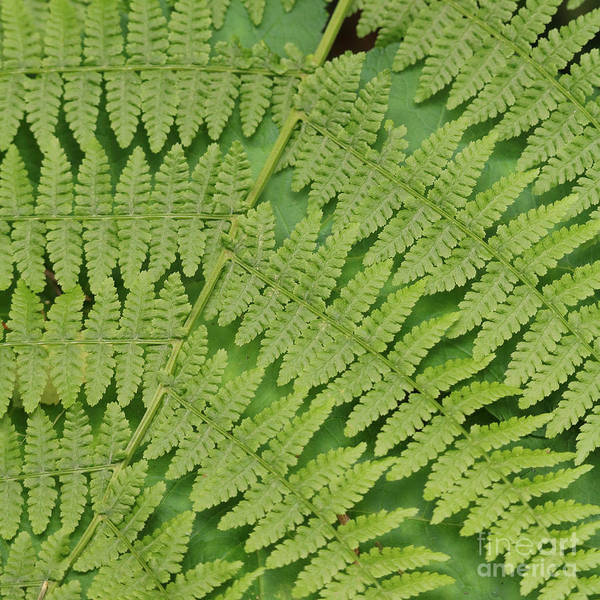 Photograph - Fern Fronds Over Green Leaf by Carol Groenen