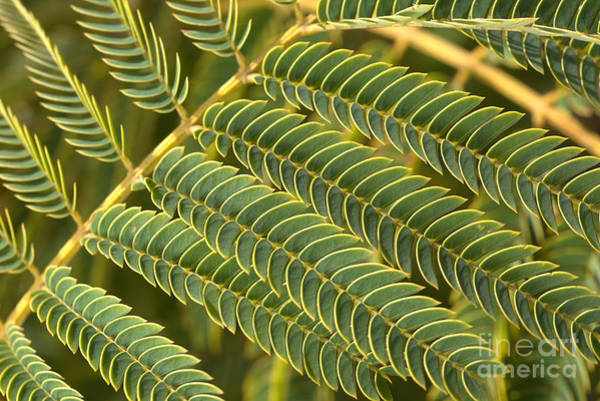 Photograph - Fern Scales by Joy Watson