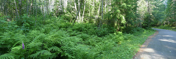 Photograph - Fern Undergrowth In Mixed Conifer And Hardwood Forest by Steve Estvanik