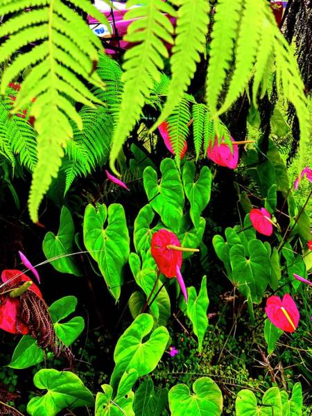 Photograph - Ferns And Anthuriums  by Joalene Young