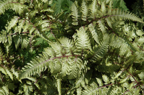 Photograph - Ferns by Mike Murdock