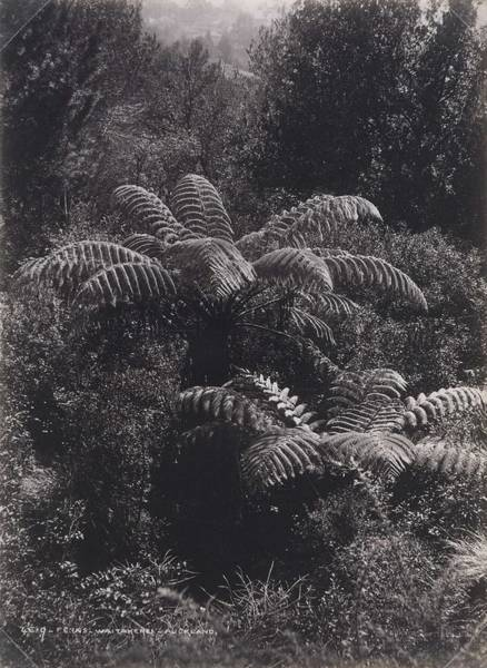 Wall Art - Painting - Ferns  Waitakerei   Auckland 1880s  By Burton Brothers Studio by Celestial Images