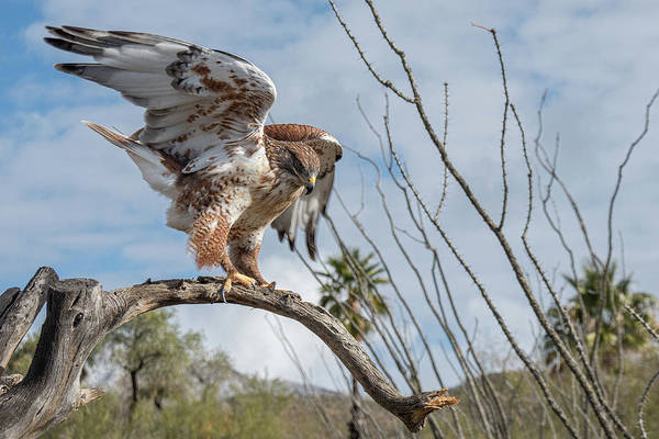 Photograph - Ferruginous Hawk by Dan McManus