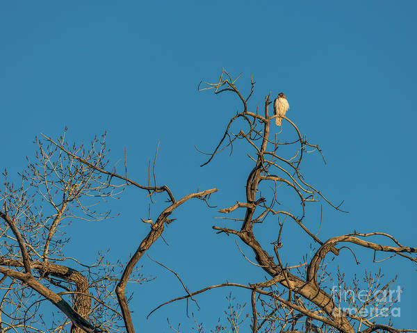 Photograph - Ferrunginous Hawk In Tree by Jon Burch Photography