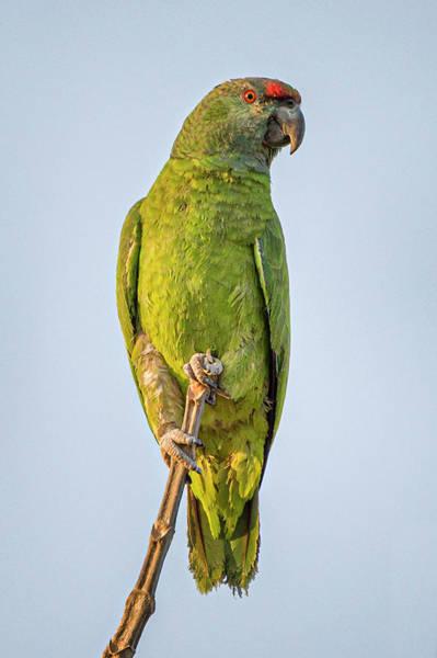 Photograph - Festive Parrot La Palmita Casanare Colombia by Adam Rainoff