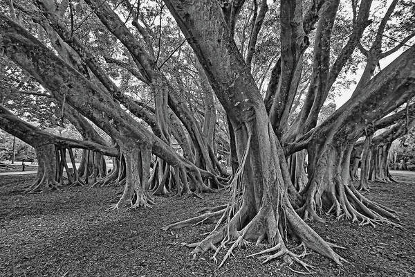 Indian Banyan Photograph - Ficus Microcarpa 2 by HH Photography of Florida