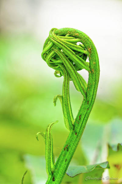 Photograph - Fiddlehead Unfurling by Christopher Holmes