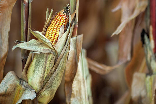 Photograph - Field Corn by Todd Klassy