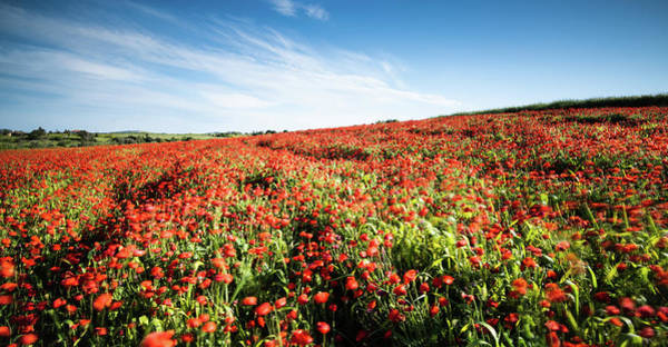 Photograph - Field Full With Red  Poppy Anemone Flowers. by Michalakis Ppalis