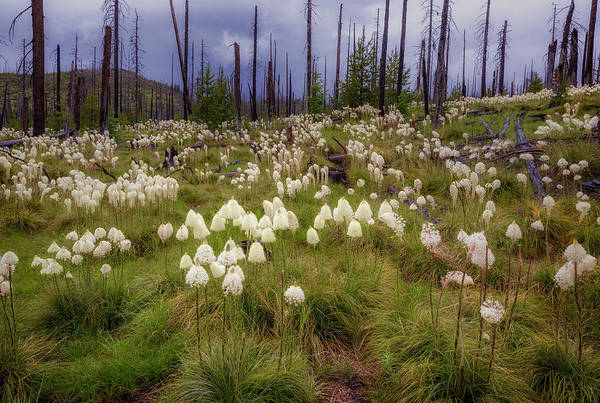 Photograph - Field Of Bear Grass by Cat Connor