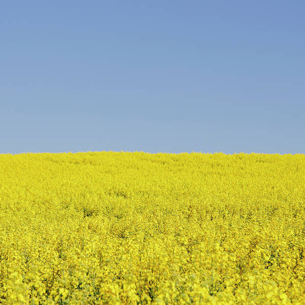 Cultivate Photograph - Field Of Blooming Mustard Seed Plants by Mint Images - Paul Edmondson