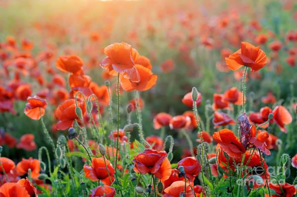 Wall Art - Photograph - Field Of Bright Red Corn Poppy Flowers by Volodymyr Burdiak