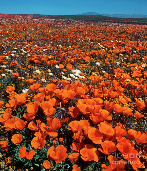 Photograph - Field Of California Poppies Desert Dandelions California by Dave Welling