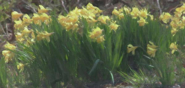 Dafodil Photograph - Field Of Daffodils by Cathy Lindsey
