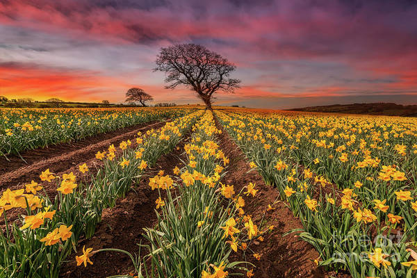 Photograph - Field Of Daffodils Sunset by Adrian Evans