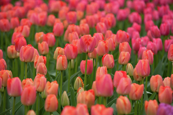 Photograph - Field Of Dutch Peach Pink Tulips by Jenny Rainbow