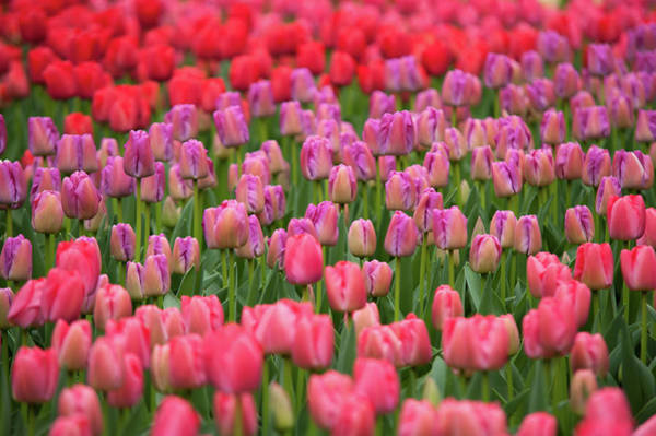 Photograph - Field Of Dutch Pink Violet Tulips by Jenny Rainbow
